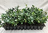 Jasmine Confederate Qty 30 Live Plants Fragrant Easy to Grow Vine Showy Blooms