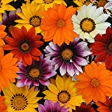 Outsidepride Gazania New Day Mix - 100 Seeds