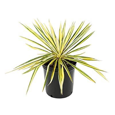 AMERICAN PLANT EXCHANGE Vareigated Yucca Filimintosa Color Guard Live Plant, 3 Gallon, Show Stopping Specimen : Garden & Outdoor
