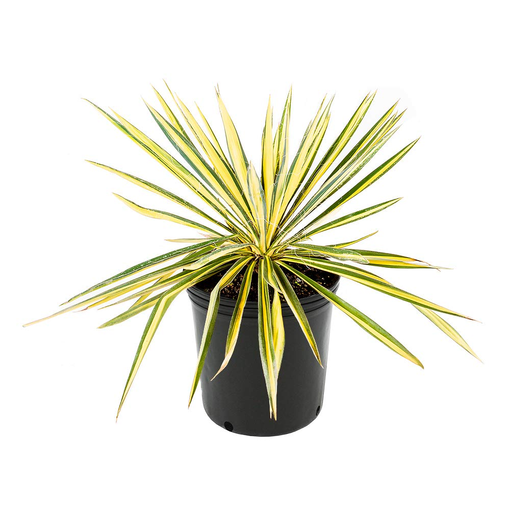 AMERICAN PLANT EXCHANGE Vareigated Yucca Filimintosa Color Guard Live Plant, 3 Gallon, Show Stopping Specimen!