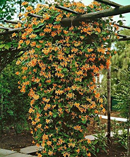 (Mandarin Honeysuckle Vine - Perennial - Lonicera - 2.5