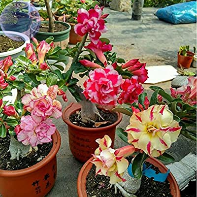 ADB Inc DD 2016 New Yellow Fed Pink 2 Pack BELLFARM Mixed 2 types of Adenium Desert Rose : Garden & Outdoor