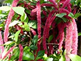 Acalypha Hispida Chenille Plant Exotic Cat's Tail Shrub Rare 5 Seeds