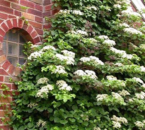 Climbing Hydrangea Vine (petiolaris) - Live Plant - Quart Pot