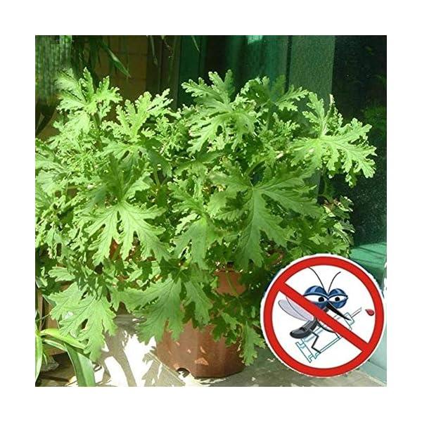 100pcs zanzara semi di erba pianta repellente per zanzare semi anti zanzara 3 spesavip