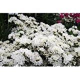 9cm Pot Azalea Diamant White Diamond Garden Shrub Plant