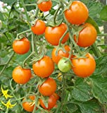 Sun Sugar Hybrid Tomato 20 Seed
