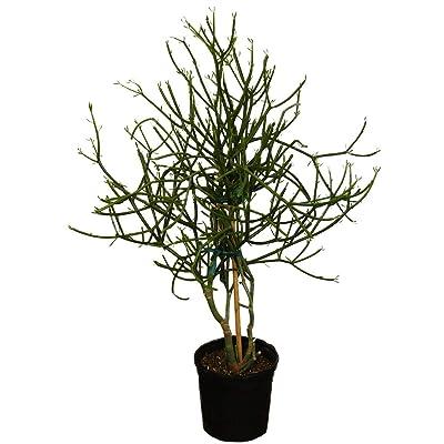 AMERICAN PLANT EXCHANGE Pencil Cactus Tree XL Indoor/Outdoor Air Purifier Live Plant, 2.5 Height, 1 Gallon Container : Garden & Outdoor