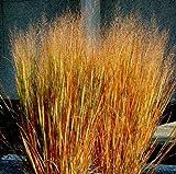 Panicum Virgatum Dacotah Switch Ornamental Grass - 100 Seeds