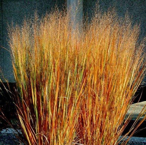 panicum-virgatum-dacotah-switch-ornamental-grass-100-seeds