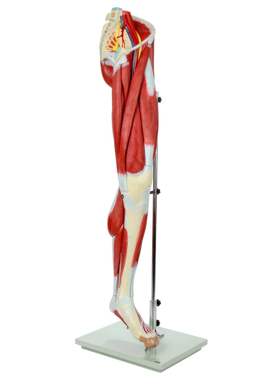 AXIS Scientific Life Größe Echthaar Bein Anatomie Modell mit 12 ...