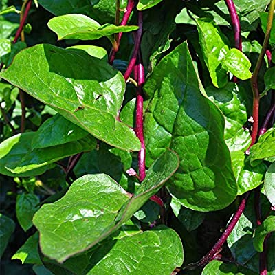 Park Seed Red Stem Malabar Spinach Seeds - Green Leaf Spinach Seeds - Pack of 50 Seeds : Garden & Outdoor