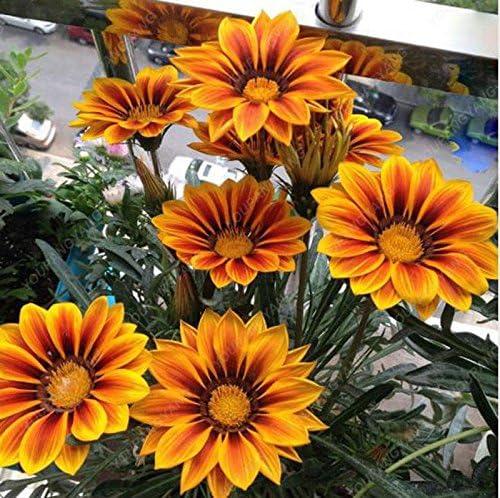100PCS raro color Semillas crisantemo precioso arco iris de la acuarela del crisantemo natural DIY del jardín de flores claras: Amazon.es: Jardín