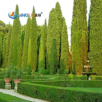 Tree Seeds 100 Pcs Italian Cypress (Cupressus Sempervirens Stricta) Seeds Home Gardening