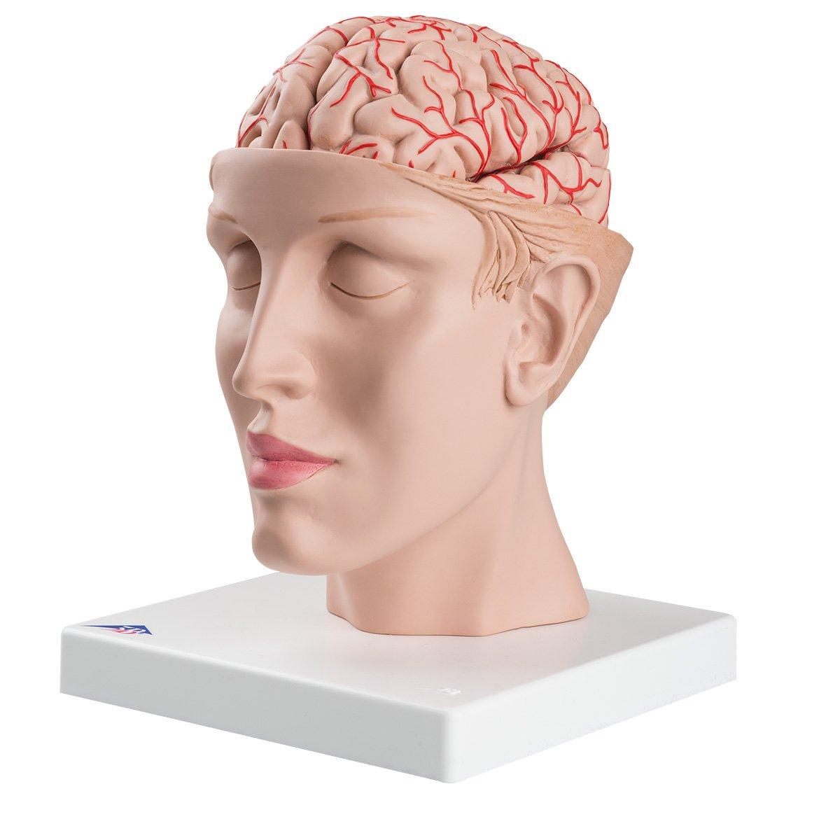 超高品質で人気の 頭部,9分解モデル,動脈,頭蓋底付 B006YWT2C0 B006YWT2C0, 島牧村:21f16620 --- a0267596.xsph.ru