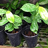2 Live Soursop Guanabana Fruit Plant - Mang Cau Xiem Gai - 3 To 5 Inches