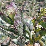 Adromischus maculatus Cactus Cacti Succulent Real Live Plant