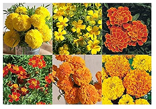 How To Plant Marigold Seeds - 3