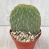 Opuntia Robusta Cactus Cacti Succulent Real Live Plant
