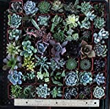 "Jiimz 30 Assorted 2"" Succulent Plants"