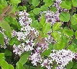 3 Bare Root of Syringa Meyeri 'Palibin'- Dwarf Korean Lilacry