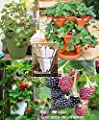Organic 3 Pack Container Everbearing Strawberry 850 Seeds Upc 650327337831 Delicious High Yielding + 4 Plant Markers