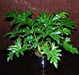 "Philodendron Selloum Large 6"" Pot Easy Tropical Indoor/Outdoor Houseplant"