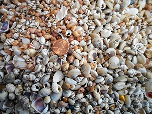 1lb Tiny Indian Shell Mix Seashells 1/4