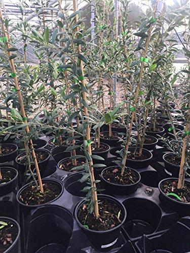 Olive Tree, Arbequina - Live Plant +!
