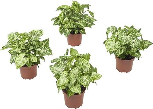 Piante Da Appartamento Syngonium.Syngonium Pianta Rampicante Verde 4 Piante Pianta D