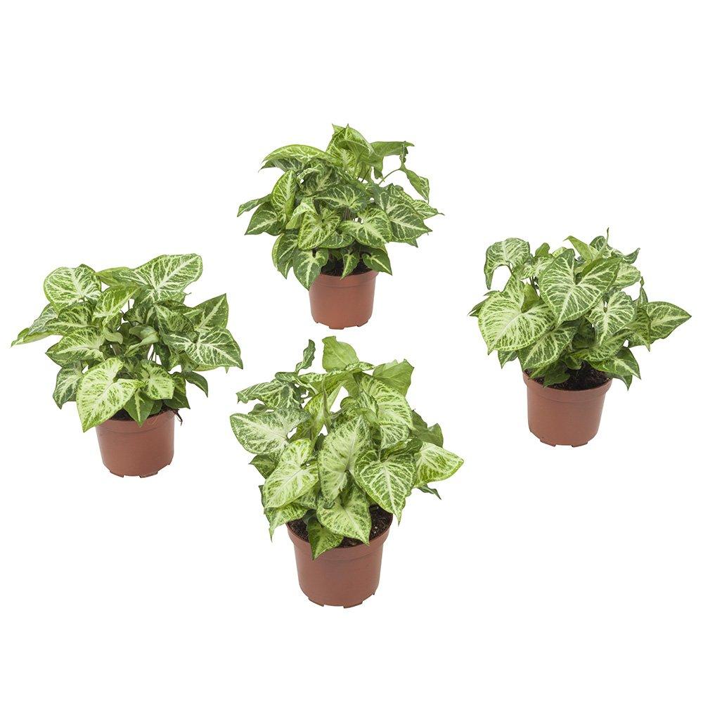 Piante Da Appartamento Syngonium.Piante Da Interno Da Botanicly 4 Syngonium Podophyllum Arrow