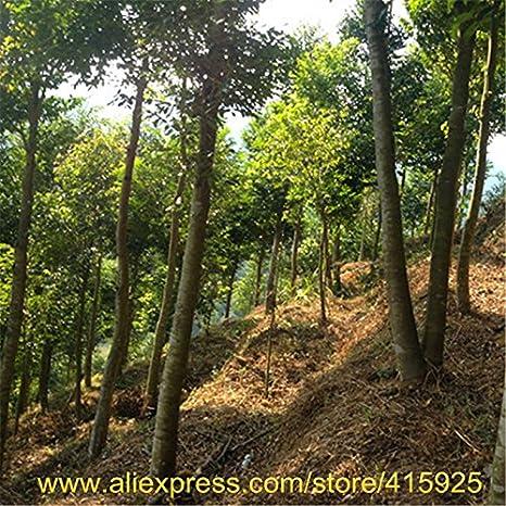 100% real Semillas chino Aquilaria sinensis árbol raro madera de agar de semillas plantas al aire libre del jardín perfumado de incienso de madera Chenxiang Sementes: Amazon.es: Jardín
