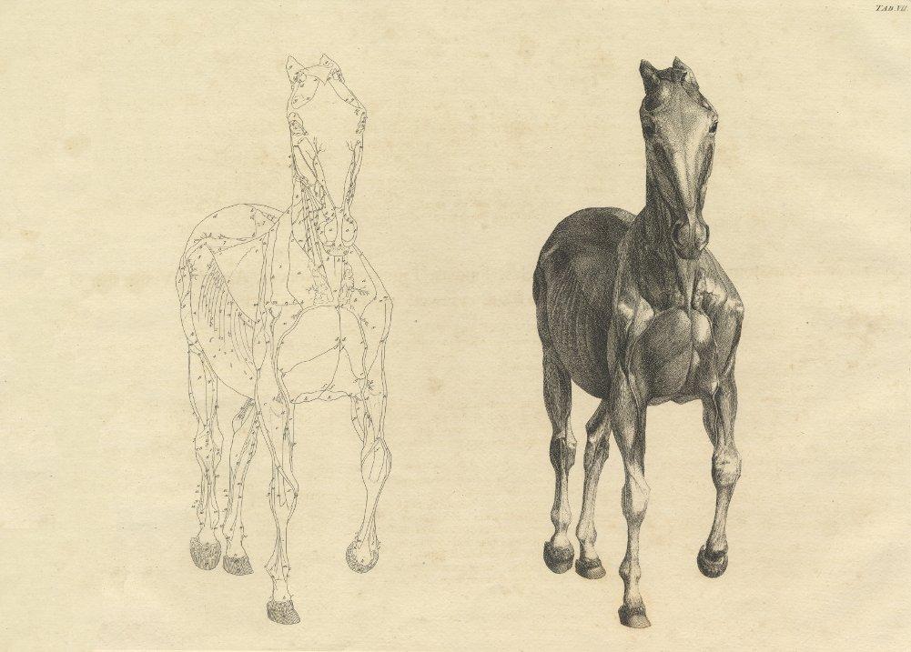 Amazon.de: Vintage Anatomie Pferd vorne Blick von der Anatomie des ...