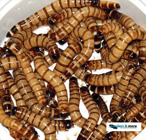 Zophobas gut gefüllte Dose. 50gramm lebend und frisch verpackt Futterinsekten, Angelköder 100g/5,98EUR Angelköder 100g/5 Feeders & more