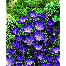 100pcs/bag saffron seeds,(not crocus saffron bulbs),bonsai flower seeds iran saffron potted plant for home garden 4