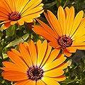 Everwilde Farms - African Daisy Wildflower Seeds - Gold Vault