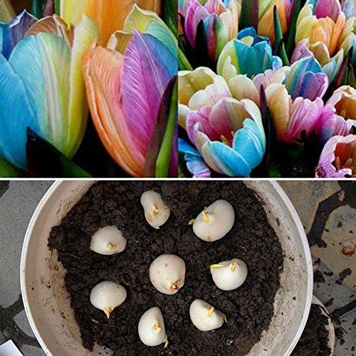 SuBoZhuLiuJ 5 Pcs Beautiful Rare Rainbow Tulip Bulbs Seeds Flower Seed Planting Home Garden Yard Flower Decor