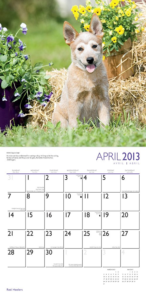 Red Heelers 2013 Square 12X12 Wall Calendar