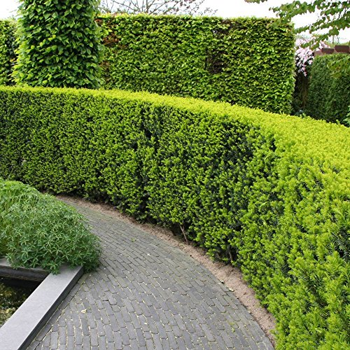 Taxus baccata English Yew Hedge - 5 Hedge Plants