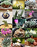 EXOTIC AVONIA MIX variety rare flowering succulent cactus plant seed - 15 SEEDS