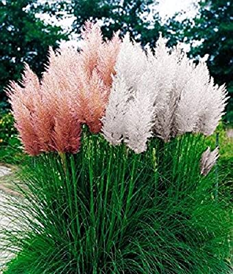 Cortaderia Selloana Pack ~ 30 seeds Pink + 30 seeds White ~ Pampas Grass Seeds