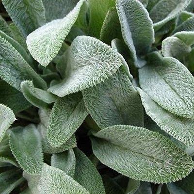 Lambs Ear Seeds (Stachys Byzantina Lanata) 50+Seeds : Garden & Outdoor