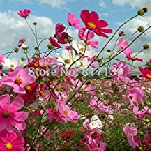 30 Seeds Home Garden Plant Mixed CANDY Sensation Radiance COSMOS Bipinnatus Calliopsis Mexican Aster Flower Seeds