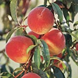 Pixies Gardens Elberta Peach Tree Shrub Live Fruit Plant for Planting - Disease Resistant - Self Fertile