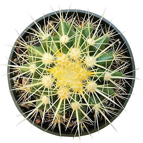 (Golden Barrel Cactus Echinocactus Grusonii (4 inch))