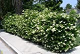 Ligustrum Waxleaf Privet Qty 30 Live Plants Evergreen Privacy Hedge