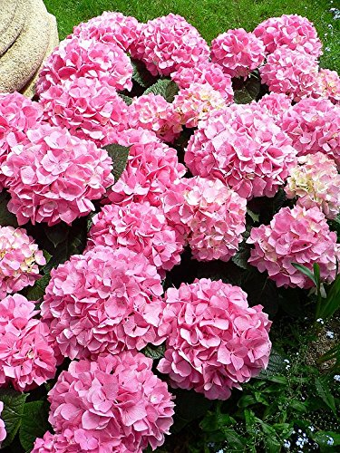 Penny Mac Hydrangea - Live Plants Shipped 1 to 2 Feet Tall by DAS Farms (No California)
