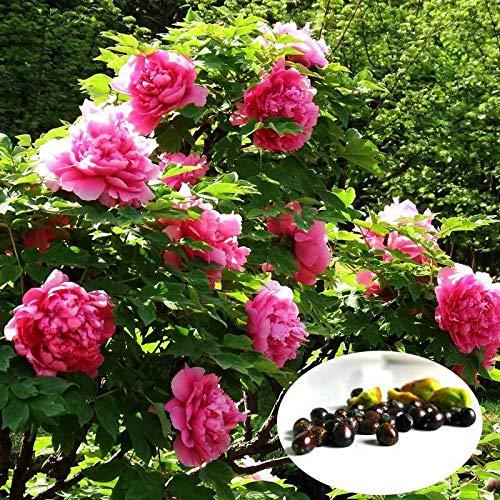 (20 Double Poppy Peony Mix Flower Seeds Fresh Seed)