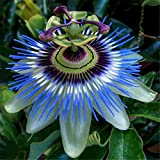 Exotic Passion Fruit Seeds Purple Passiflora edulis Passion Flower Outdoor plant - 10pcs/lot