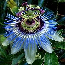 Exotic Passion Fruit Seeds Purple Passiflora edulis Passion Flower Outdoor plant - 10pcs/lot
